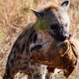 hyena lion