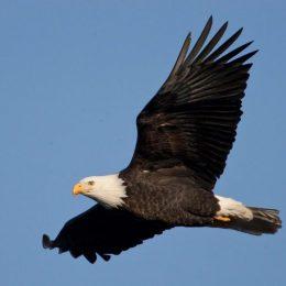 bald_eagle_flying_11-20-13