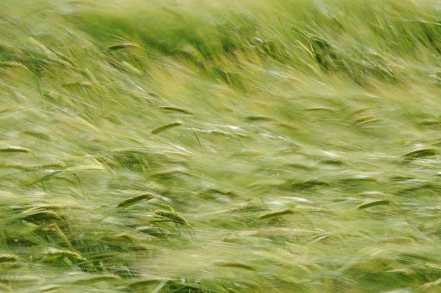 pc_wind-barley